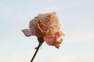 rose-228461_1280