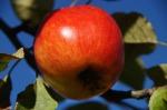 apple-978644_640